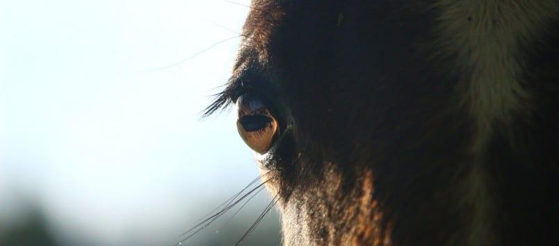 PETA: Pferde bei Rosenmontagszügen in Düsseldorf verbieten